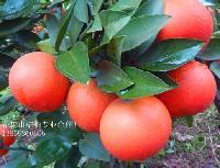 柑桔新品种 红美人(爱媛28号)柑桔苗