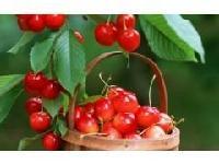 天然针叶樱桃果粉 厂家直销 质美价廉