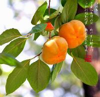 柿子叶提取物 柿叶黄酮10~40%