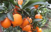 湖北秭归脐橙/秭归脐橙产地批发
