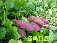 鳴門金時地瓜烤薯專用板栗香味